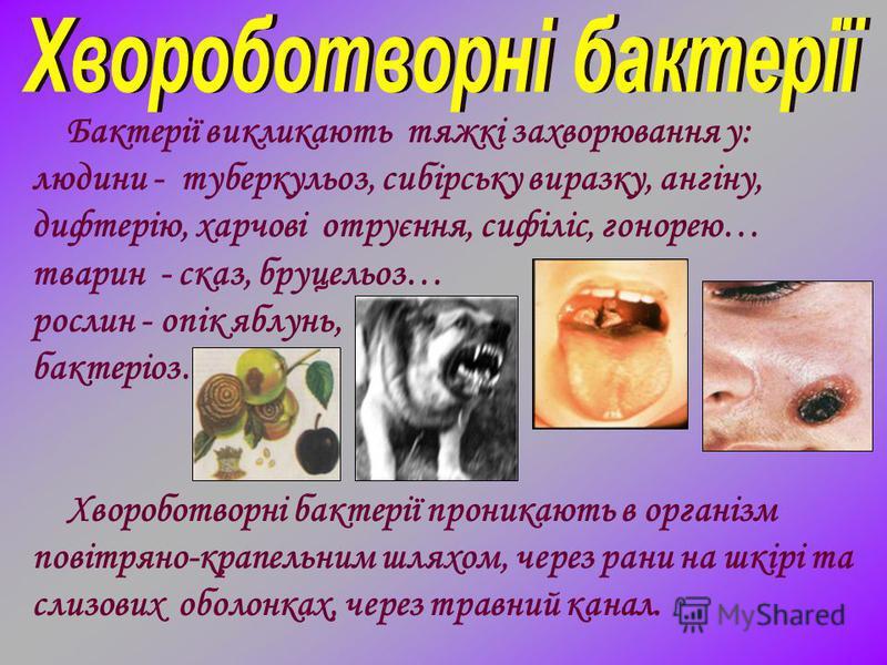 Бактерії викликають тяжкі захворювання у: людини - туберкульоз, сибірську виразку, ангіну, дифтерію, харчові отруєння, сифіліс, гонорею… тварин - сказ, бруцельоз… рослин - опік яблунь, бактеріоз… Хвороботворні бактерії проникають в організм повітряно