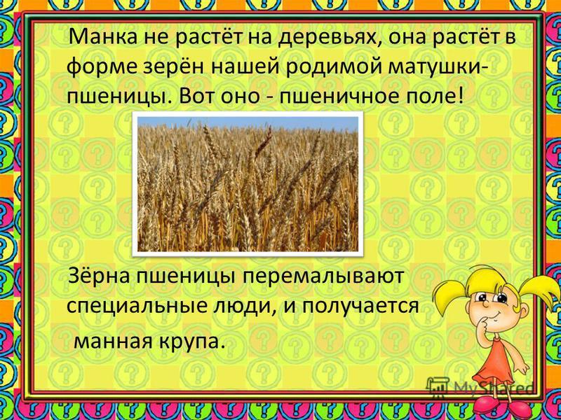 Манка не растёт на деревьях, она растёт в форме зерён нашей родимой матушки- пшеницы. Вот оно - пшеничное поле! Зёрна пшеницы перемалывают специальные люди, и получается манная крупа.