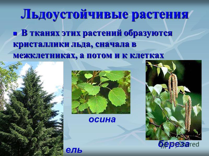 Льдоустойчивые растения В тканях этих растений образуются кристаллики льда, сначала в межклетниках, а потом и к клетках В тканях этих растений образуются кристаллики льда, сначала в межклетниках, а потом и к клетках ель осина береза