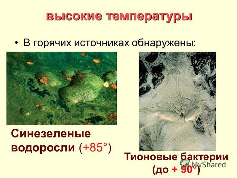 высокие температуры В горячих источниках обнаружены: Синезеленые водоросли (+85°) Тионовые бактерии (до + 90°)