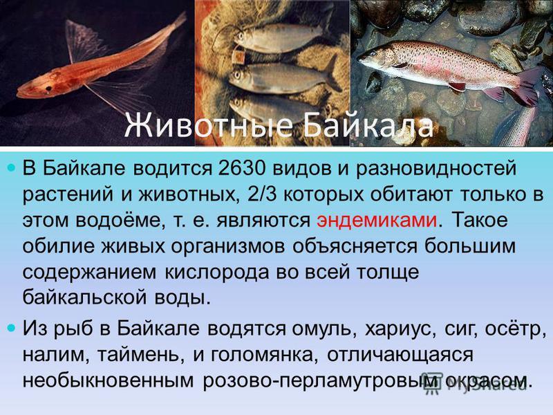 Животные Байкала В Байкале водится 2630 видов и разновидностей растений и животных, 2/3 которых обитают только в этом водоёме, т. е. являются эндемиками. Такое обилие живых организмов объясняется большим содержанием кислорода во всей толще байкальско