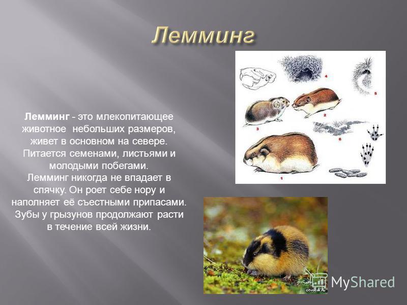 Лемминг - это млекопитающее животное небольших размеров, живет в основном на севере. Питается семенами, листьями и молодыми побегами. Лемминг никогда не впадает в спячку. Он роет себе нору и наполняет её съестными припасами. Зубы у грызунов продолжаю