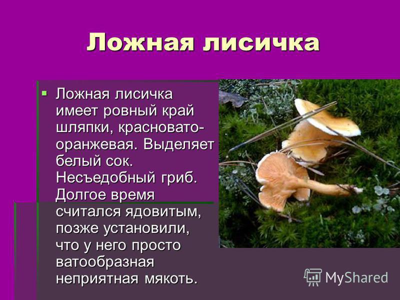 Ложная лисичка Ложная лисичка имеет ровный край шляпки, красновато- оранжевая. Выделяет белый сок. Несъедобный гриб. Долгое время считался ядовитым, позже установили, что у него просто ватообразная неприятная мякоть. Ложная лисичка имеет ровный край