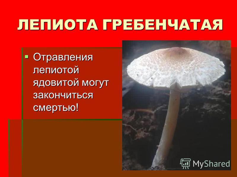 ЛЕПИОТА ГРЕБЕНЧАТАЯ Отравления лепиотой ядовитой могут закончиться смертью! Отравления лепиотой ядовитой могут закончиться смертью!
