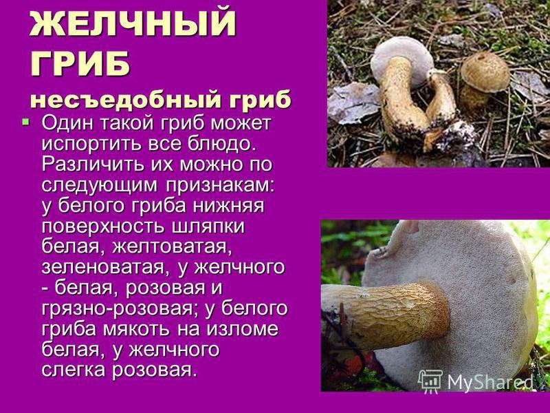 ЖЕЛЧНЫЙ ГРИБ несъедобный гриб Один такой гриб может испортить все блюдо. Различить их можно по следующим признакам: у белого гриба нижняя поверхность шляпки белая, желтоватая, зеленоватая, у желчного - белая, розовая и грязно-розовая; у белого гриба