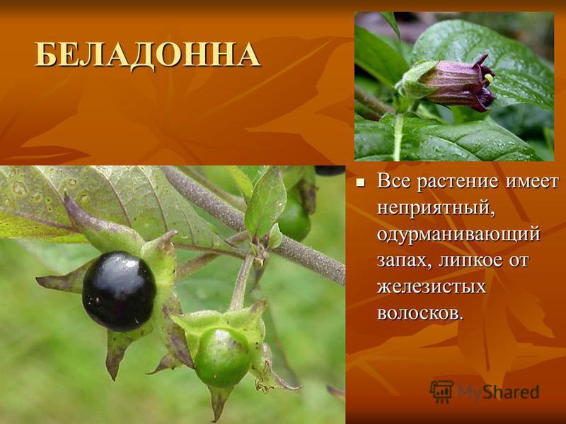 БЕЛАДОННА Все растение имеет неприятный, одурманивающий запах, липкое от железистых волосков. Все растение имеет неприятный, одурманивающий запах, липкое от железистых волосков.