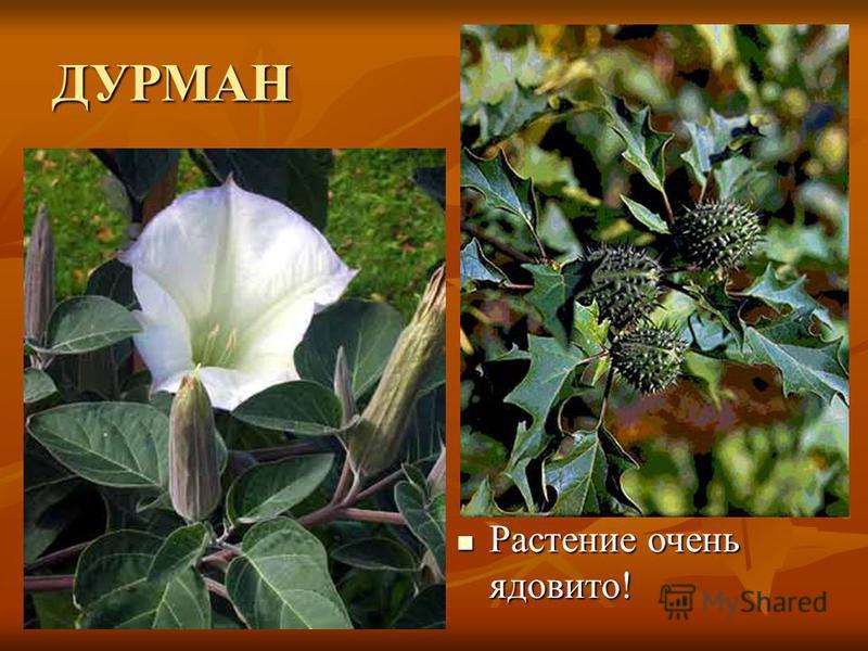 ДУРМАН Растение очень ядовито! Растение очень ядовито!