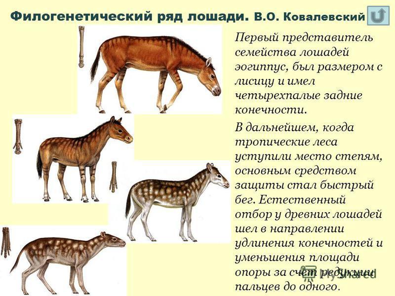 Филогенетический ряд лошади. В.О. Ковалевский Первый представитель семейства лошадей эогиппус, был размером с лисицу и имел четырехпалые задние конечности. В дальнейшем, когда тропические леса уступили место степям, основным средством защиты стал быс