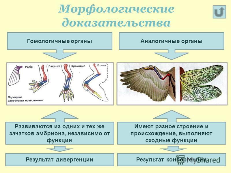 Морфологические доказательства Гомологичные органы Развиваются из одних и тех же зачатков эмбриона, независимо от функции Аналогичные органы Результат дивергенции Имеют разное строение и происхождение, выполняют сходные функции Результат конвергенции