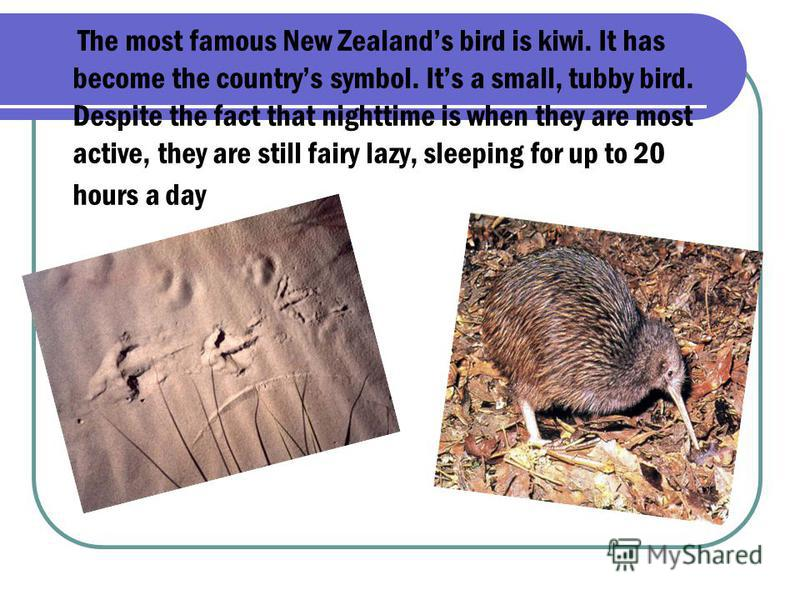 The most famous New Zealands bird is kiwi. It has become the countrys symbol. Its a small, tubby bird. Despite the fact that nighttime is when they are most active, they are still fairy lazy, sleeping for up to 20 hours a day