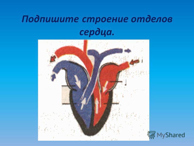 Подпишите строение отделов сердца.