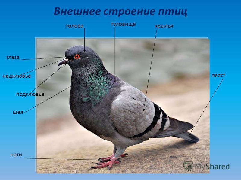 Внешнее строение птиц голова шея глаза туловище крылья хвост ноги надклювье подклювье