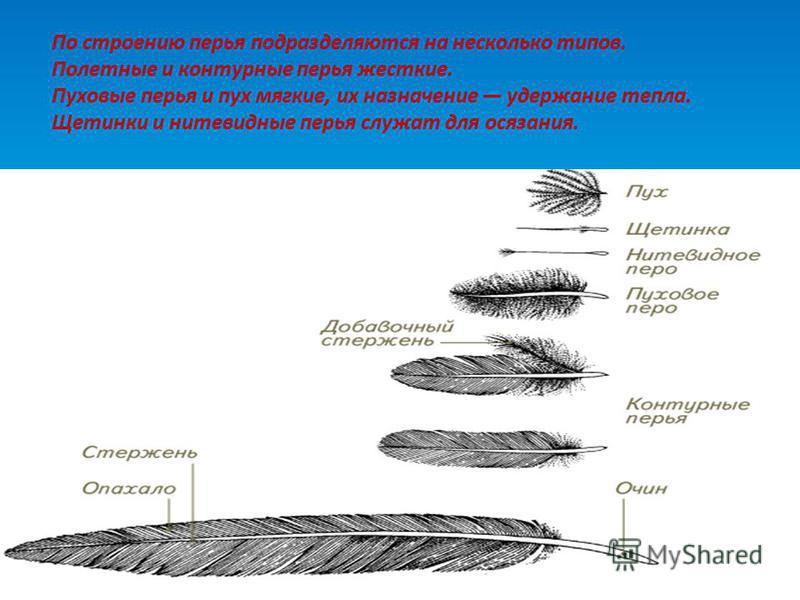По строению перья подразделяются на несколько типов. Полетные и контурные перья жесткие. Пуховые перья и пух мягкие, их назначение удержание тепла. Щетинки и нитевидные перья служат для осязания.