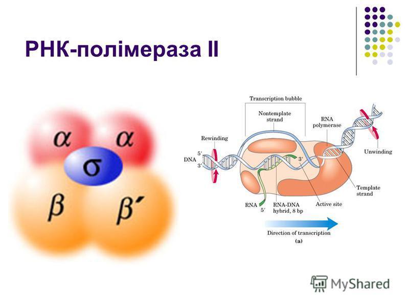 РНК-полімераза ІІ