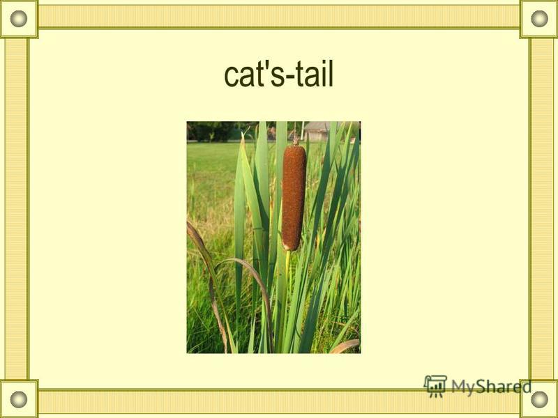 cat's-tail