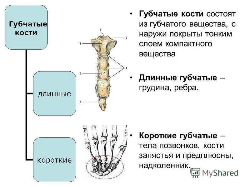 Губчатые кости длинные короткие Губчатые кости состоят из губчатого вещества, с наружи покрыты тонким слоем компактного вещества Длинные губчатые – грудина, ребра. Короткие губчатые – тела позвонков, кости запястья и предплюсны, надколенник.