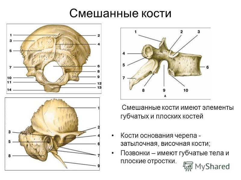 Смешанные кости Смешанные кости имеют элементы губчатых и плоских костей Кости основания черепа - затылочная, височная кости; Позвонки – имеют губчатые тела и плоские отростки.