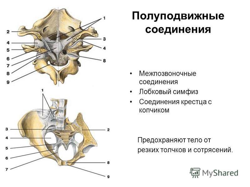 Полуподвижные соединения Межпозвоночные соединения Лобковый симфиз Соединения крестца с копчиком Предохраняют тело от резких толчков и сотрясений.