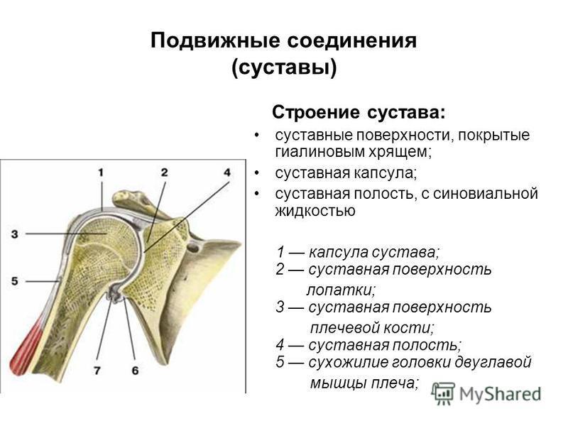 Подвижные соединения (суставы) Строение сустава: суставные поверхности, покрытые гиалиновым хрящом; суставная капсула; суставная полость, с синовиальной жидкостью 1 капсула сустава; 2 суставная поверхность лопатки; 3 суставная поверхность плечевой ко