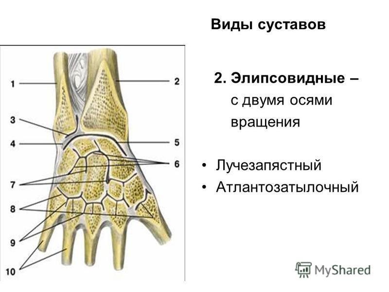 Виды суставов 2. Элипсовидные – с двумя осями вращения Лучезапястный Атлантозатылочный