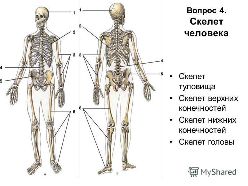 Вопрос 4. Скелет человека Скелет туловища Скелет верхних конечностей Скелет нижних конечностей Скелет головы