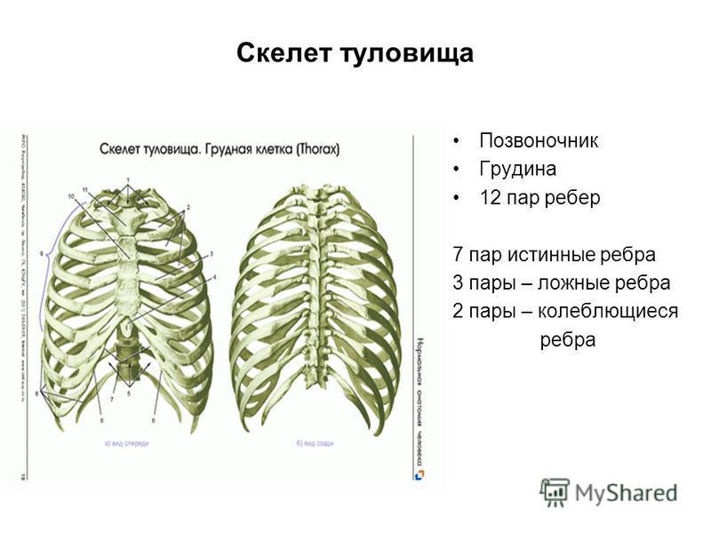 Скелет туловища Позвоночник Грудина 12 пар ребер 7 пар истинные ребра 3 пары – ложные ребра 2 пары – колеблющиеся ребра