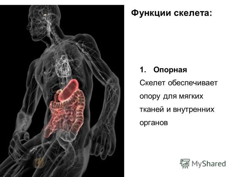 Функции скелета: 1. Опорная Скелет обеспечивает опору для мягких тканей и внутренних органов