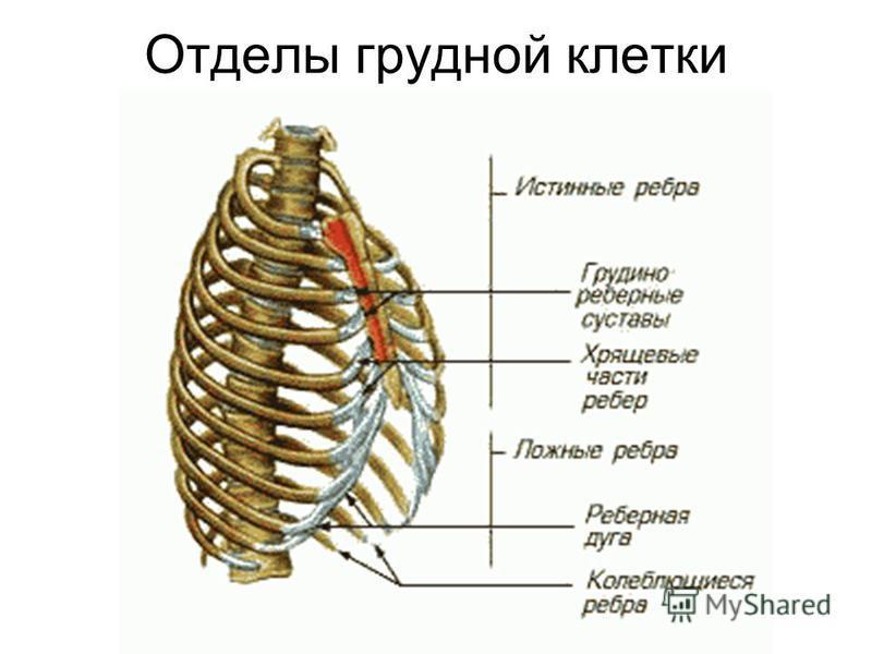 Отделы грудной клетки