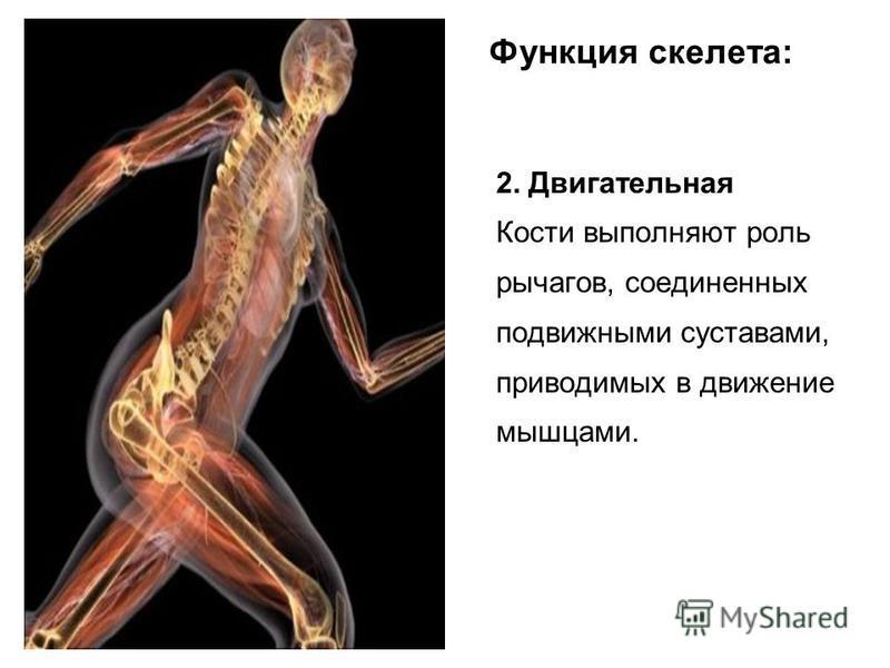 Функция скелета: 2. Двигательная Кости выполняют роль рычагов, соединенных подвижными суставами, приводимых в движение мышцами.