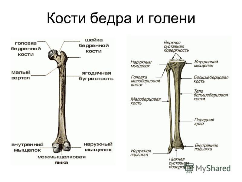 Кости бедра и голени