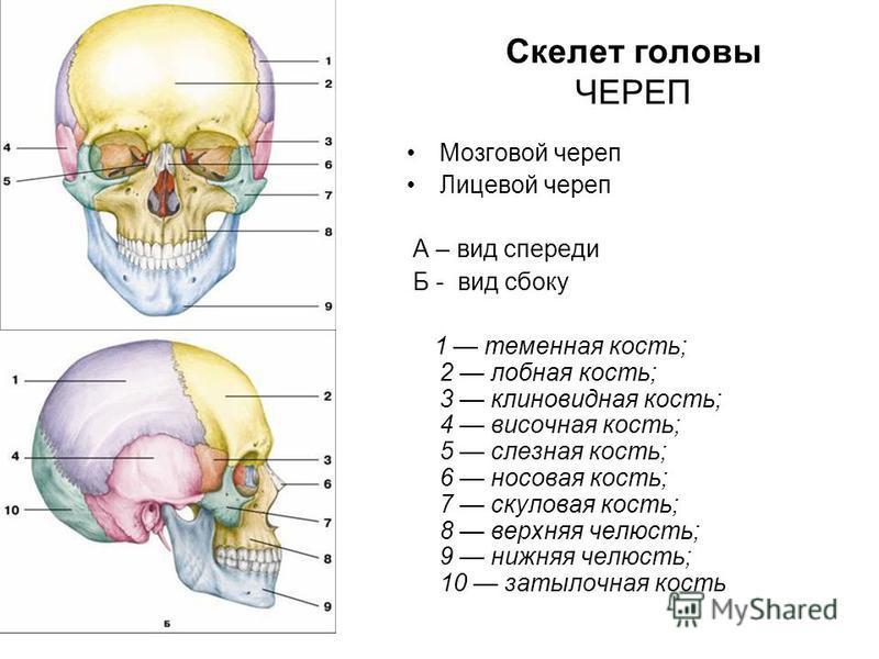 Скелет головы ЧЕРЕП Мозговой череп Лицевой череп А – вид спереди Б - вид сбоку 1 теменная кость; 2 лобная кость; 3 клиновидная кость; 4 височная кость; 5 слезная кость; 6 носовая кость; 7 скуловая кость; 8 верхняя челюсть; 9 нижняя челюсть; 10 затыло