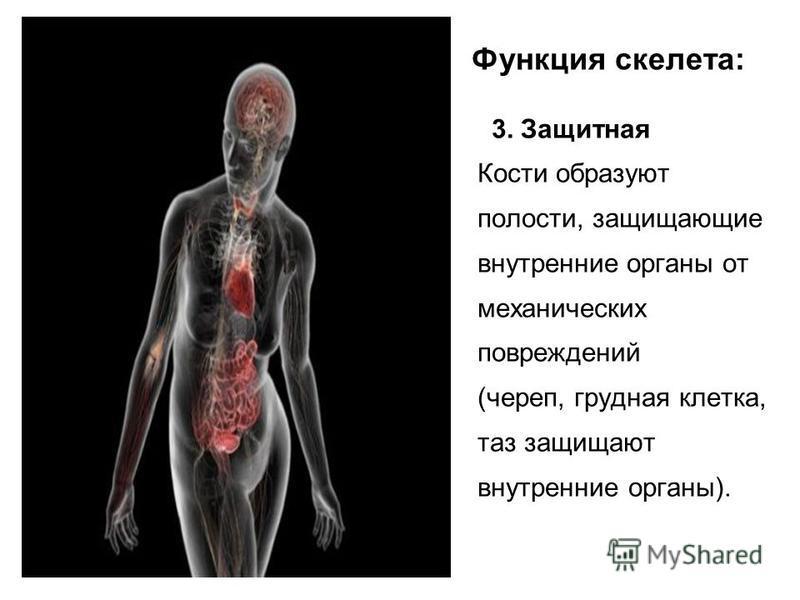 Функция скелета: 3. Защитная Кости образуют полости, защищающие внутренние органы от механических повреждений (череп, грудная клетка, таз защищают внутренние органы).