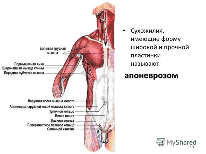 Сухожилия, имеющие форму широкой и прочной пластинки называют апоневрозом 10