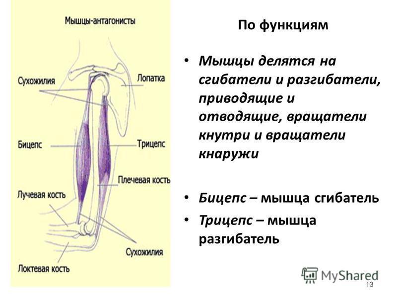 По функциям Мышцы делятся на сгибатели и разгибатели, приводящие и отводящие, вращатели кнутри и вращатели кнаружи Бицепс – мышца сгибатель Трицепс – мышца разгибатель 13