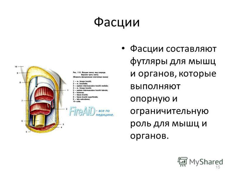 Фасции Фасции составляют футляры для мышц и органов, которые выполняют опорную и ограничительную роль для мышц и органов. 15