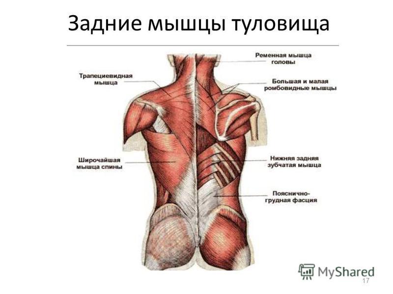 Задние мышцы туловища 17
