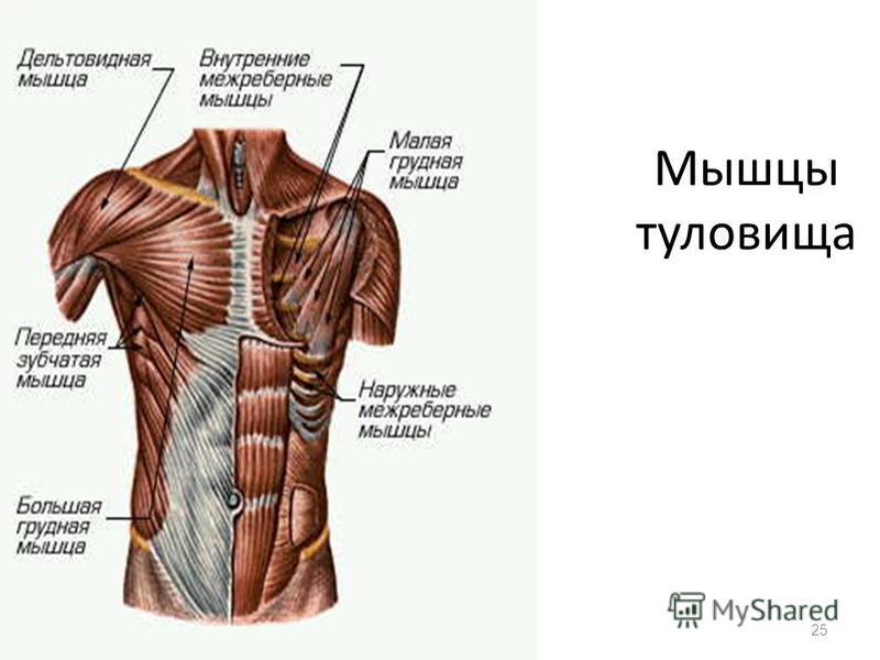 Мышцы туловища 25