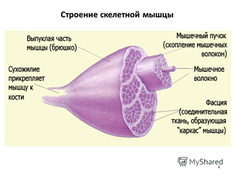 Строение скелетной мышцы 4