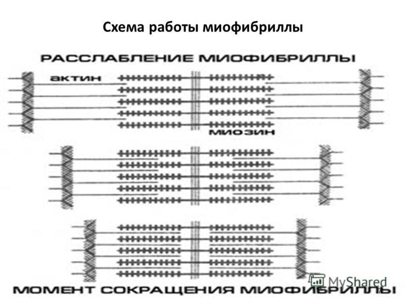 Схема работы миофибриллы 7