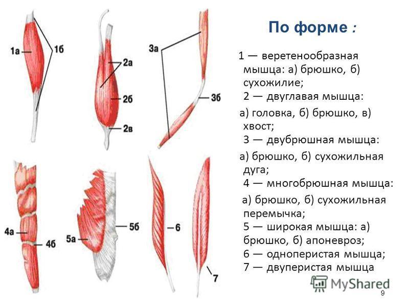 1 веретенообразная мышца: а) брюшко, б) сухожилие; 2 двуглавая мышца: а) головка, б) брюшко, в) хвост; 3 двубрюшная мышца: а) брюшко, б) сухожильная дуга; 4 много брюшная мышца: а) брюшко, б) сухожильная перемычка; 5 широкая мышца: а) брюшко, б) апон