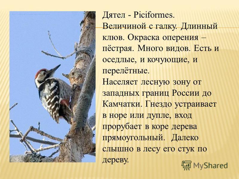 Дятел - Piciformes. Величиной с галку. Длинный клюв. Окраска оперения – пёстрая. Много видов. Есть и оседлые, и кочующие, и перелётные. Населяет лесную зону от западных границ России до Камчатки. Гнездо устраивает в норе или дупле, вход прорубает в к