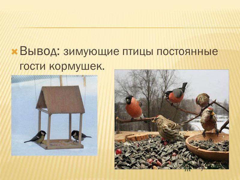 Вывод: зимующие птицы постоянные гости кормушек.