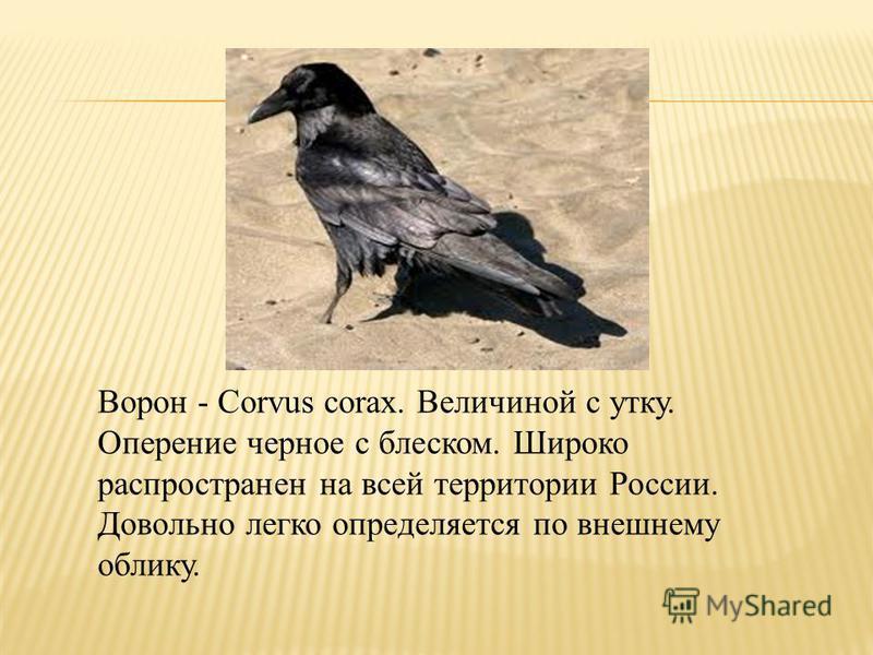 Ворон - Corvus corax. Величиной с утку. Оперение черное с блеском. Широко распространен на всей территории России. Довольно легко определяется по внешнему облику.