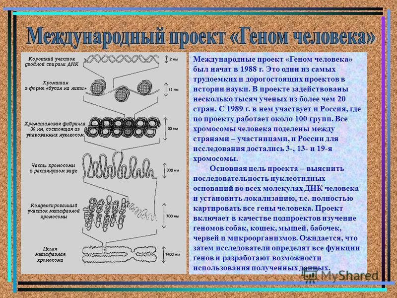 Международные проект «Геном человека» был начат в 1988 г. Это один из самых трудоемких и дорогостоящих проектов в истории науки. В проекте задействованы несколько тысяч ученых из более чем 20 стран. С 1989 г. в нем участвует и Россия, где по проекту