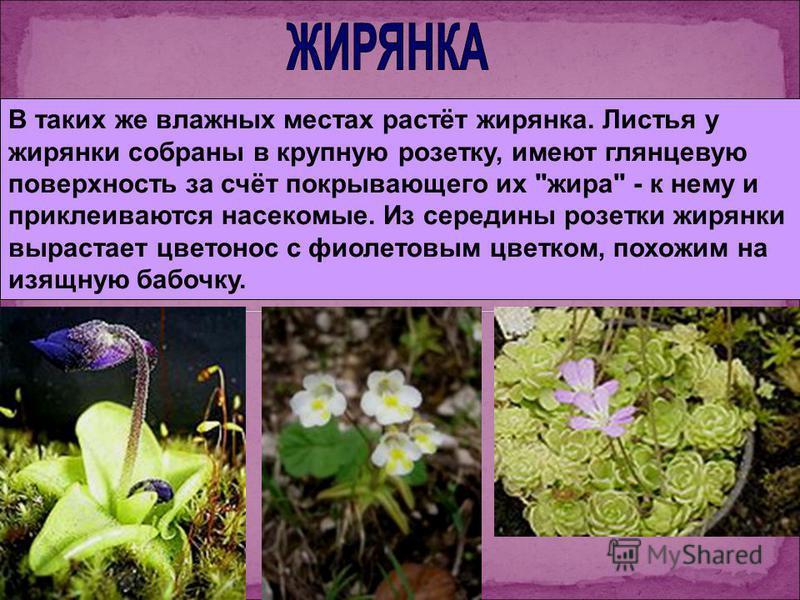 В таких же влажных местах растёт жирянка. Листья у жирянки собраны в крупную розетку, имеют глянцевую поверхность за счёт покрывающего их