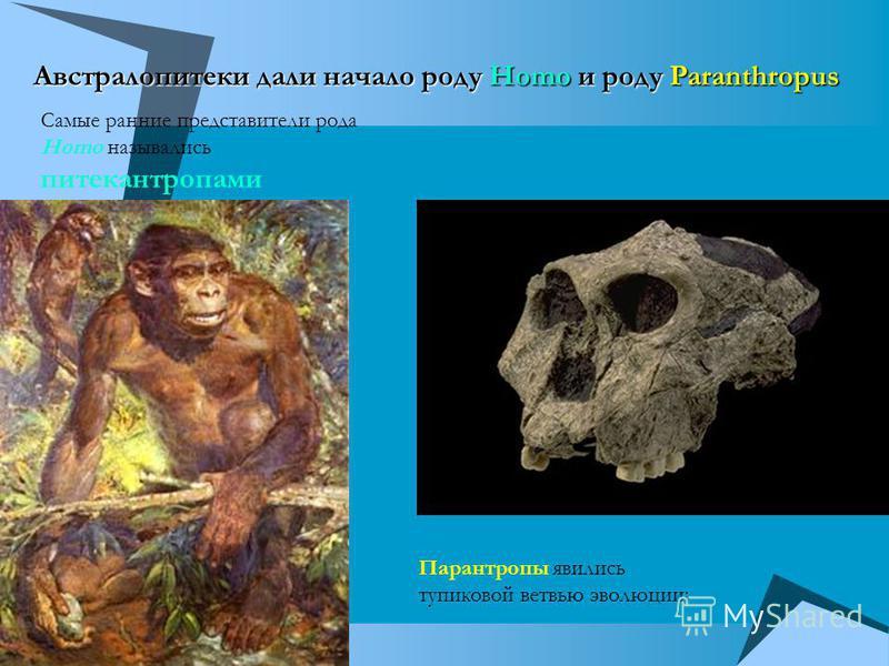 Австралопитеки дали начало роду Homo и роду Paranthropus Самые ранние представители рода Homo назывались питекантропами Парантропы явились тупиковой ветвью эволюции: