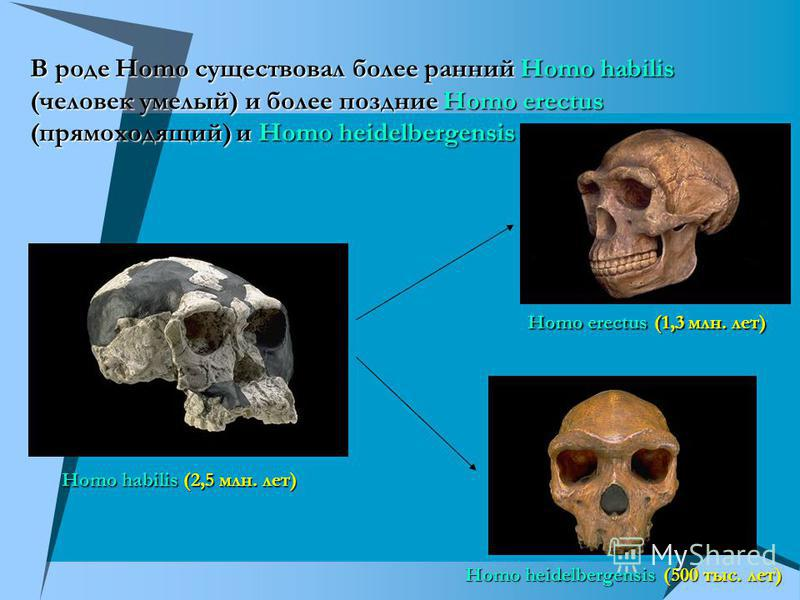 В роде Homo существовал более ранний Homo habilis (человек умелый) и более поздние Homo erectus (прямоходящий) и Homo heidelbergensis Homo habilis (2,5 млн. лет) Homo erectus (1,3 млн. лет) Homo heidelbergensis (500 тыс. лет)