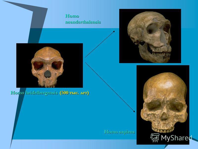 Homo neanderthalensis Homo sapiens