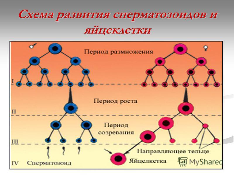 Схема развития сперматозоидов и яйцеклетки