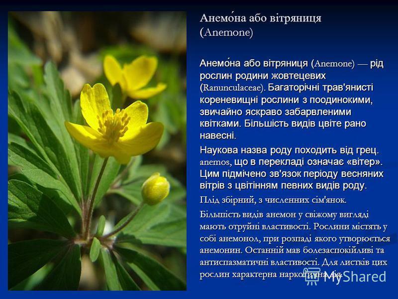 Анемо́на або вітряниця ( Anemone) Анемо́на або вітряниця ( Anemone) рід рослин родини жовтецевих ( Ranunculaceae). Багаторічні трав'янисті кореневищні рослини з поодинокими, звичайно яскраво забарвленими квітками. Більшість видів цвіте рано навесні.